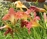 lillies_summer08